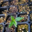 桜の実生から発芽