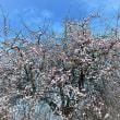 和泉リサイクル公園の梅   3月2日