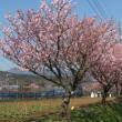 春めき桜の林