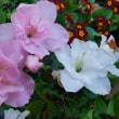 今朝の花😊
