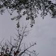 曇った冬空の日にメジロの声