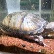 ミシシッピニオイガメ甲長約8cm