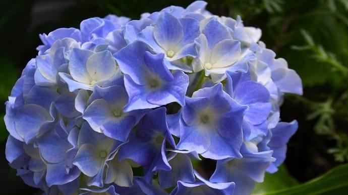 紫陽花が咲き、にわか雨が降る今日
