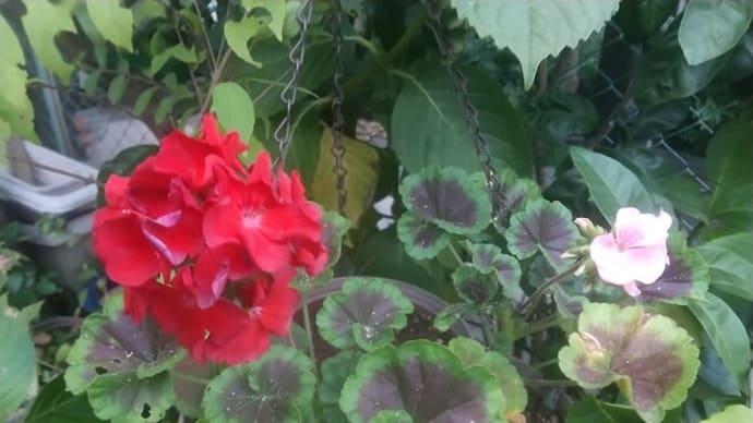 ゼラニューム花が開いた