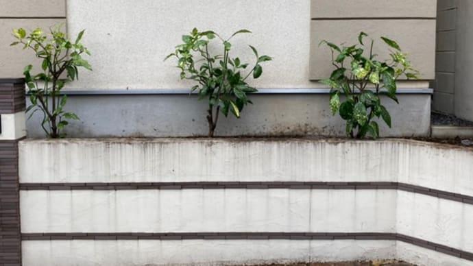 練馬区で除草と剪定 新宿の植木屋 鈴木商店のブログ