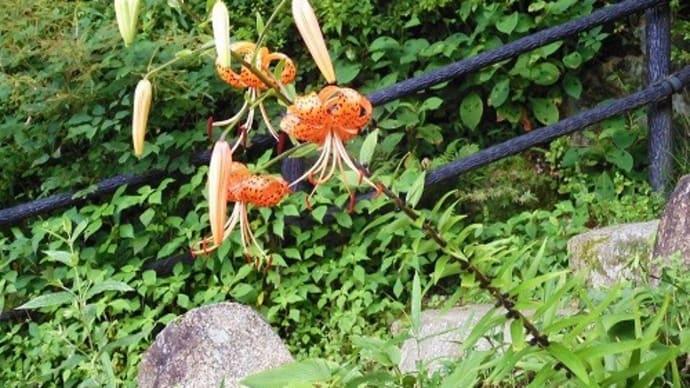 六甲高山植物園・・・1 レンゲショウマ、キレンゲショウマ