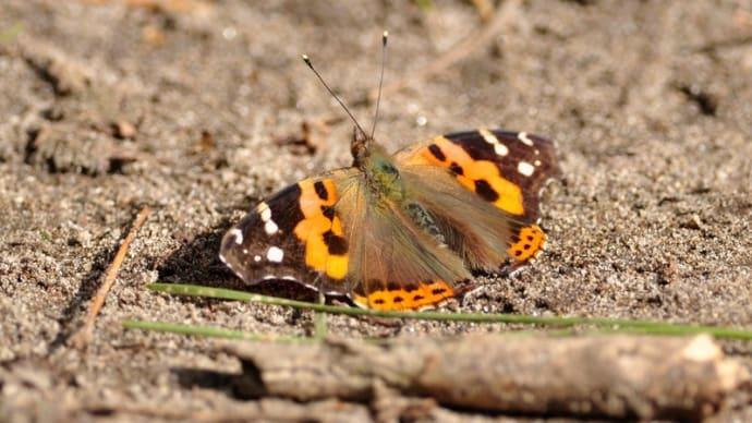 新潟の野蝶 アカタテハ