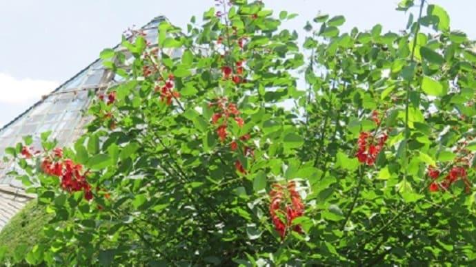 楽書き雑記「奇怪な根元から咲くアメリカディエゴ」