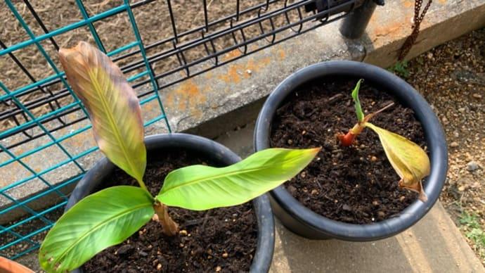 バナナの木を植え替え!