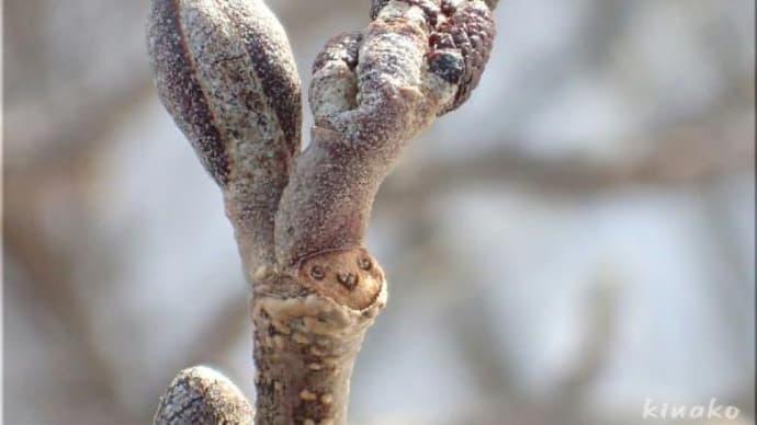 冬芽と葉痕