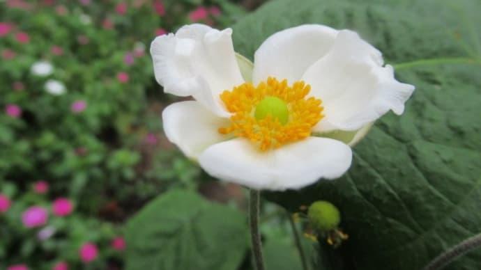 シュウメイギク(秋明菊)オナリン・ジョバート