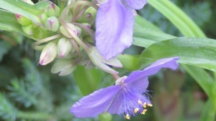 楽書き雑記「梅雨期の庭に咲く3種の草花」