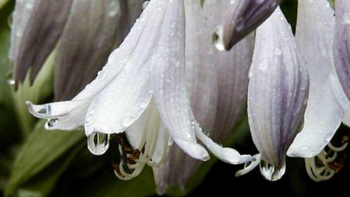 雨雫-庭の花々-
