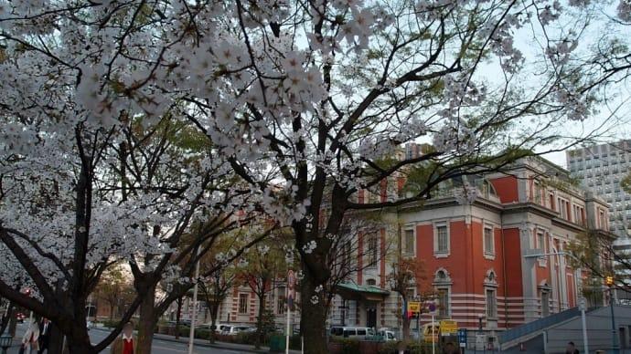 今が盛り、中央公会堂付近の桜
