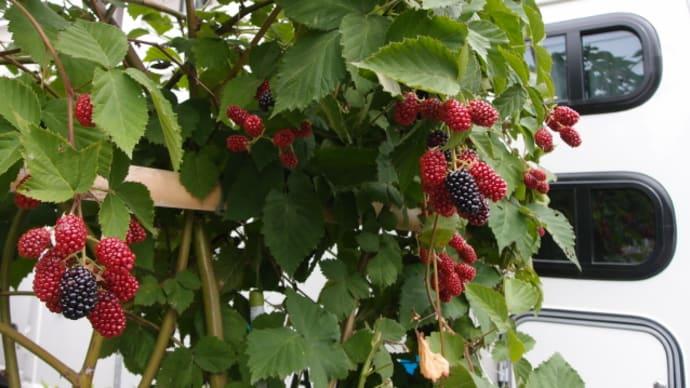 ブラックベリーの収穫開始と緑の悪魔退治(7月2日)