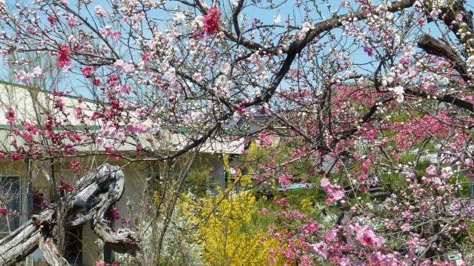 信州上田・・・塩田平の春の庭・・・樹木の花が咲いている