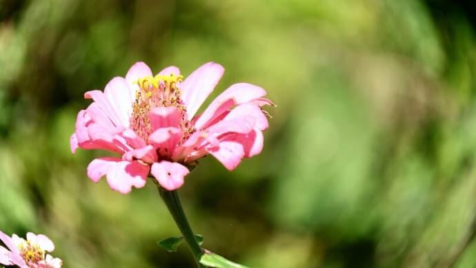 昔ながらの盆花のイメ-ジ!