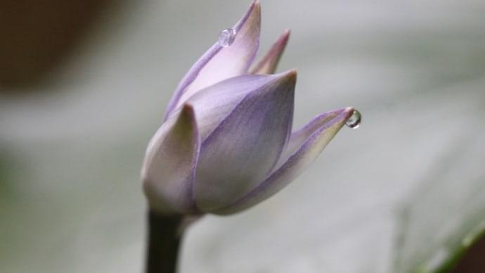 ✿ ギボウシの涙 ✿
