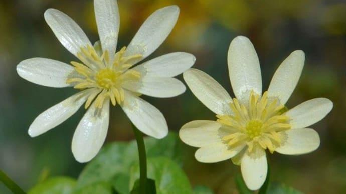 ヒメリュウキンカの花(1) 白花