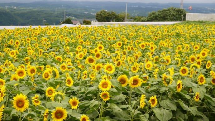 ひまわり畑、野辺山宇宙電波観測所、川上村