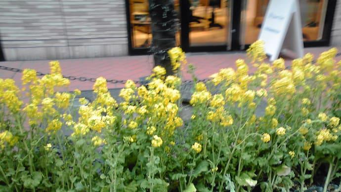 街中で菜の花♪