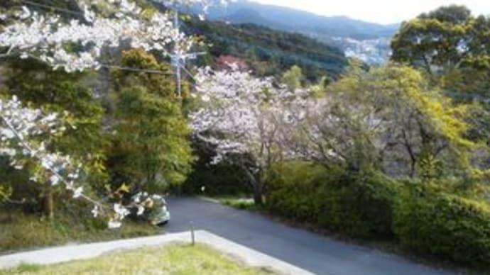 ヒヨカタ日記・・・桜散る