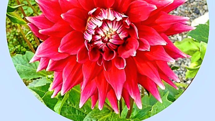 季節によって花色が変化する、ダリア・セミカクタス咲き中大輪花「星夜」