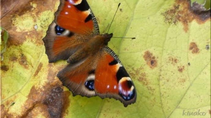 今更ですが、蝶 です。
