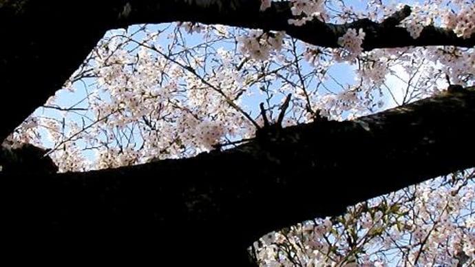 玄と白と-染井吉野-