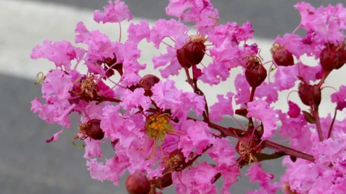 プランターに植えられたサルスベリ <お花で一休み(26)>
