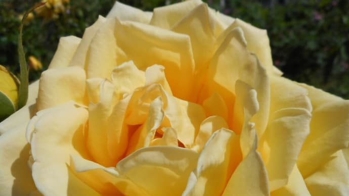 薔薇は何色がお好きですか? ~バラ便り~(2)