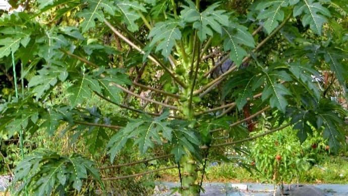 目にすることが少ない植物。パパイア、バショウ、オカワカメ、ゴマ、他