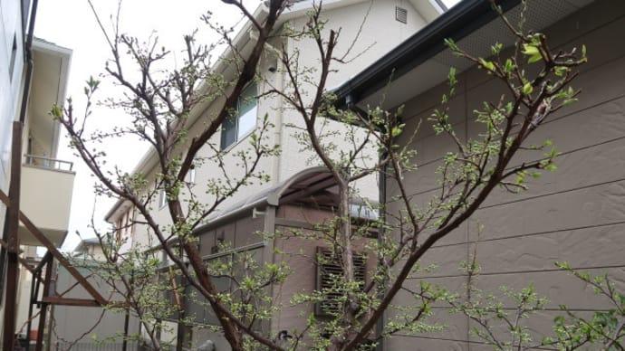 うれしいことにすももに実がついている、一方春の害虫もびっしり (2018/4/27)