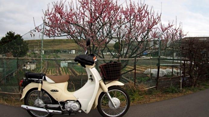 梅の花を探してトコトコと