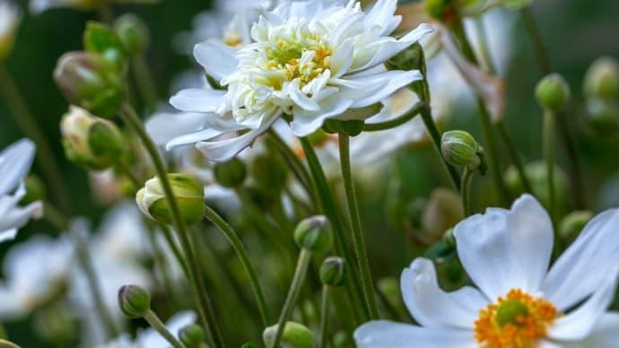 シュウメイギク(秋明菊)、2020年9月