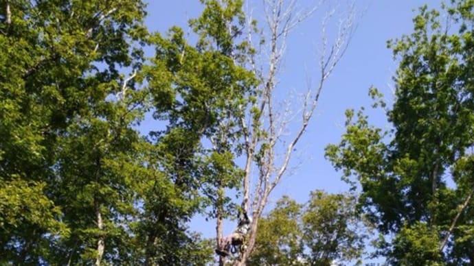 愛知県新城市作手の枯れたコナラの伐採。