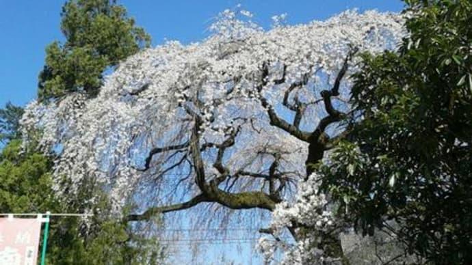 秩父の桜並木です。