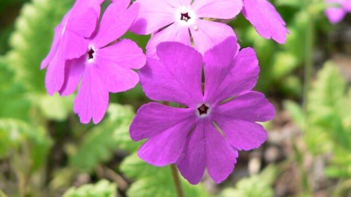 春の花:桜草
