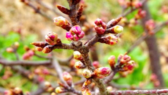 遊水地の河津桜