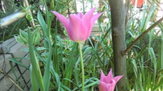 今年のピンクのチューリップはとんがり形