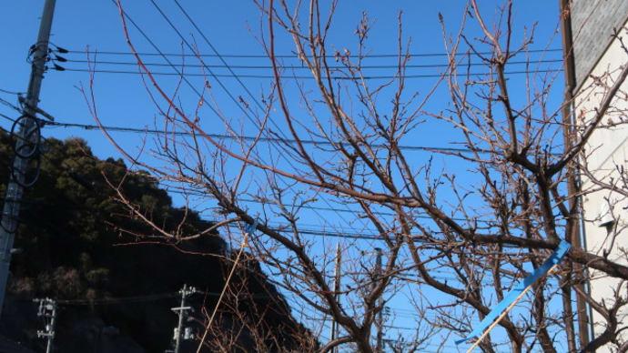 しばらく果樹をほったらかしにしていたので、せめて剪定だけでも (2020/1/22)