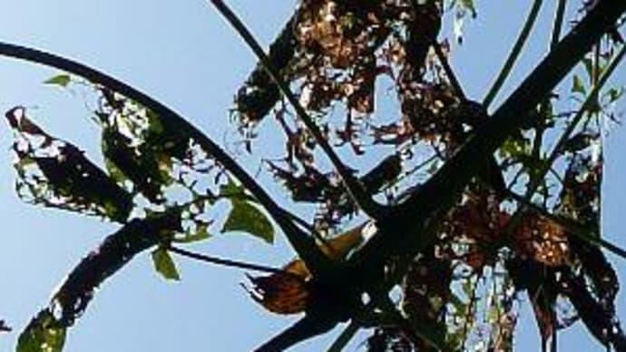 虫葉-梧桐