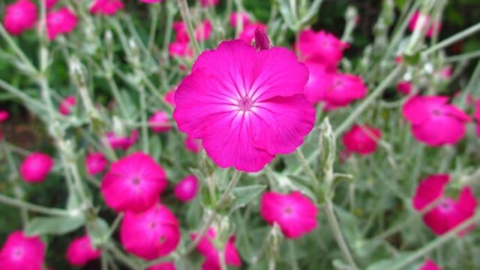 春の花:酔仙翁