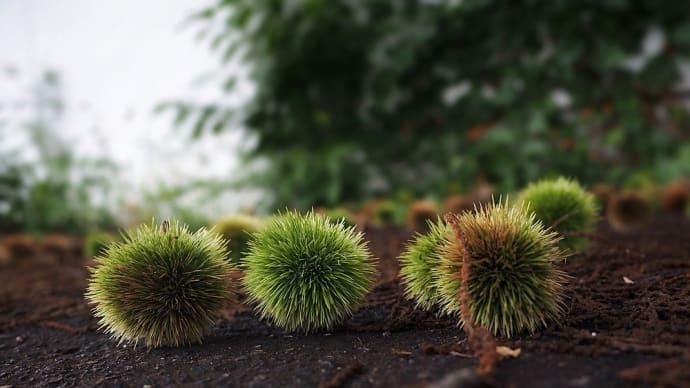 ★栗の実が次々と落ちちゃうよん 2019