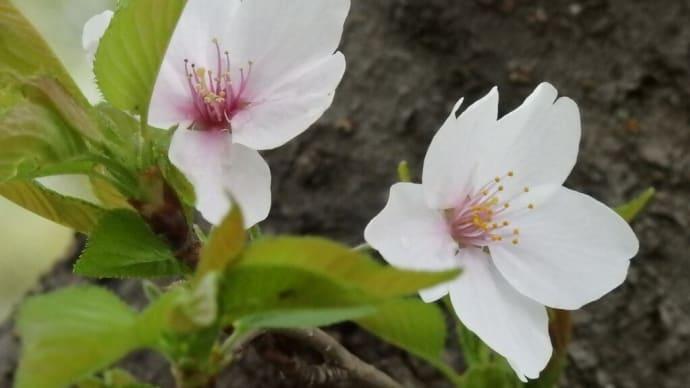 倉敷 酒津公園 🌸桜編