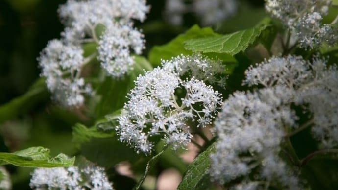 コアジサイ~梅雨時の森に清楚に香る