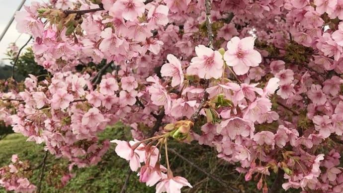 静豊園の河津桜