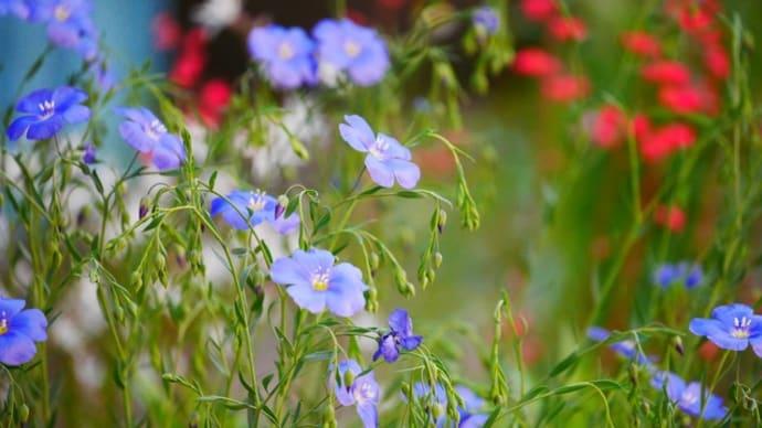 庭の花鉄線と小花たち