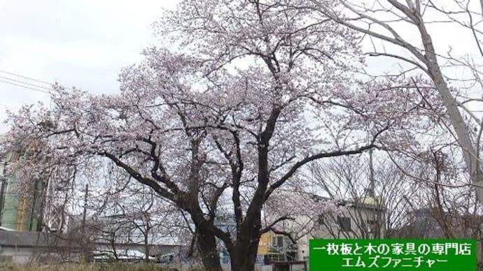 804、今年もお店の近くの一本桜が咲きました。その桜を見ながら今年の思う事は例年と違う。 一枚板と木の家具の専門店エムズファニチャーです。