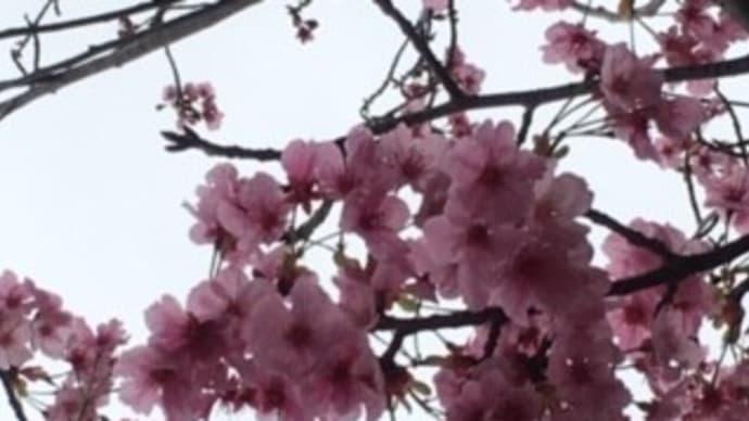 桜とさくらマカロン